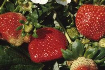 Birds love to feast on vine-ripened strawberries.
