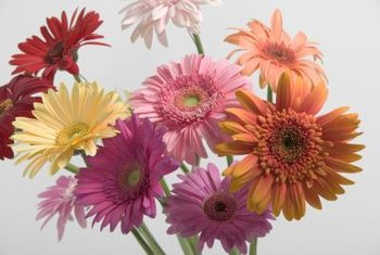 Diseases or pests impair a gerbera's appearance and value as a cut flower.