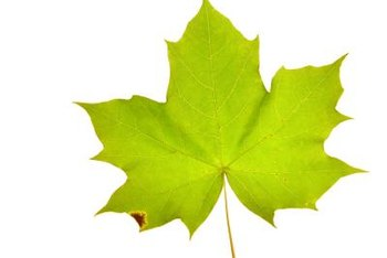 There are several reasons why maple leaves may start to turn brown on the edges.
