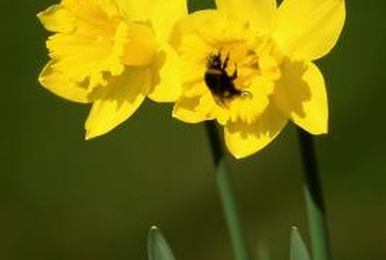 Daffodils are a beautiful reminder that spring is on its way.