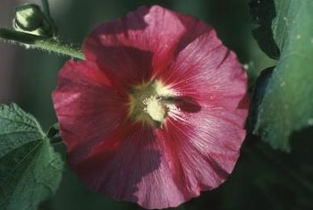 Hardy hibiscus flowers can reach up to 1 foot across.