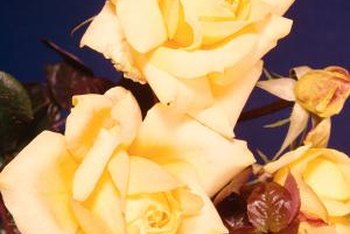 "Hybrid ""Irish Gold"" roses are also known as Grandpa Dickson roses."