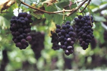 Grafting produces healthier grape vines.