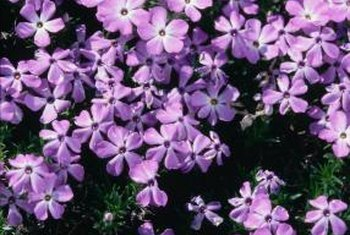 The blooms of the garden phlox range in color from red, lavender, pink and white.