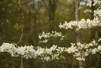 The dogwood's flowers are actually leaves with tiny flower groupings in the axil.