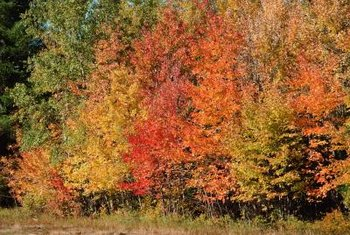 Maple trees are known for their rich fall colors.