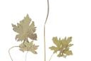 Yellow root flowers appear on the upper part of a long, single stem.