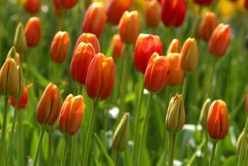 Removing wilted foliage from tulips maintains plant health.