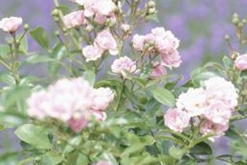 Although roses can recover from light winter damage, weakness leaves them open to disease.