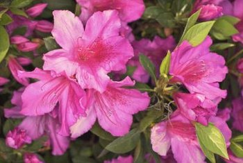 Adequate site preparation helps minimize the presence and impact of pests on azalea.