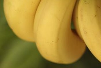 Banana trees are often planted for ornamental purposes.
