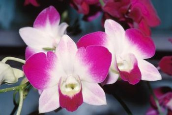 Orchids include more than 25,000 individual species.