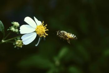 The honey bee isn't a North American native, and didn't reach the West Coast until the 1800s.