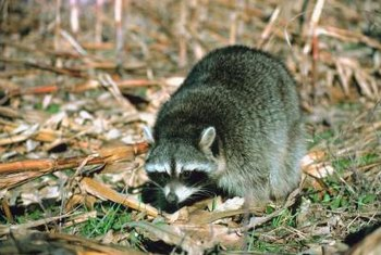 Grubs can attract coyotes, raccoons and skunks to the yard, another reason to have them removed.