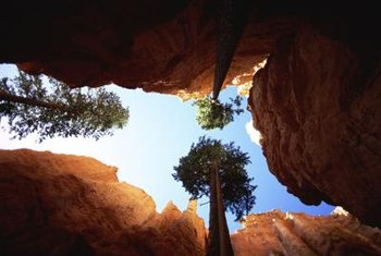 Ponderosa pines use both a taproot and shallow root system to search for soil moisture.