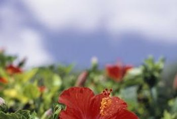 Hibiscus plants bloom in summer.