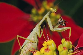 Praying mantises stab their prey with serrated forelegs.
