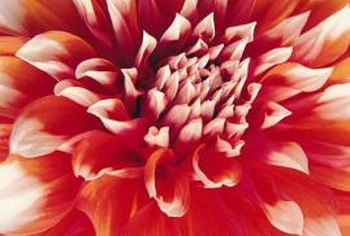 Brightly colored dahlias are beacons for guests, as well as unwanted aphids.