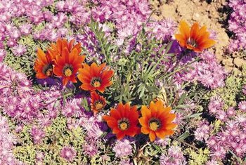 Gazania flowers are tough, perennial herbs that love to grow in sun-baked locations.