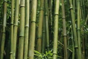 Bamboo is a fast-growing grass with a few insect pests and diseases.