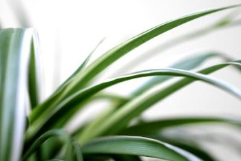 The leaves of a spider plant arch over the sides of a pot.