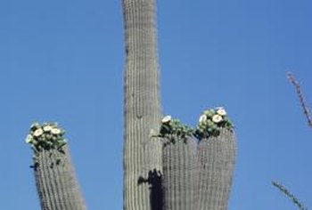 Saguaro cacti require about 10 inches of water yearly to thrive.