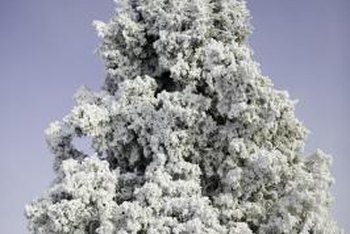 Colorado spruce are often used as Christmas trees.
