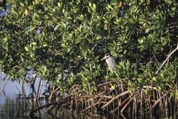 Mangroves provide shelter for many bird species.