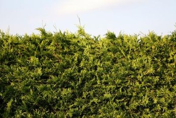 Landscape hedges and shrubs are susceptible to spider mites in hot, dusty weather.
