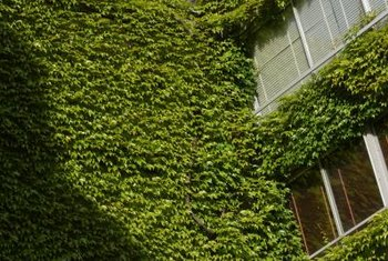 Ivy can trap moisture against wooden window frames if not cut back.