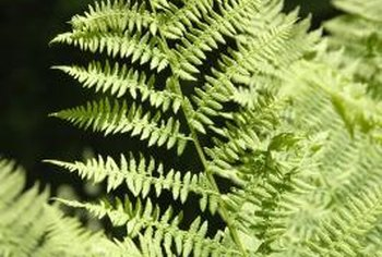 Ferns offer a viable alternative to turfgrass and other ornamentals in damp, shady areas.