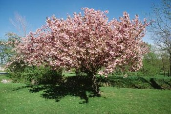 Soil preparation is important to growing a healthy cherry tree.