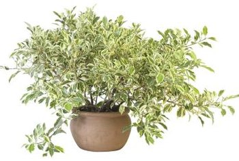 Variegated Chinese privet can be pruned for topiary gardening.