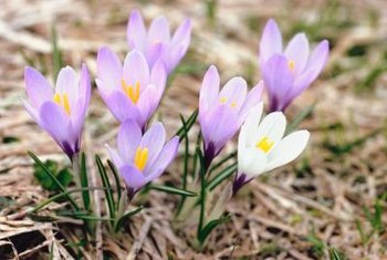 Water crocuses at planting, when you fertilize and when they're blooming.
