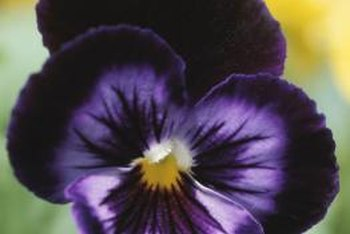 Remove weeds growing by pansies, as they rob them of food and water.