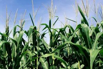 Sweet corn harvest may occur 17 to 24 days after pollination.