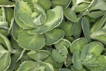 Sedum plants have water-rententive leaves.