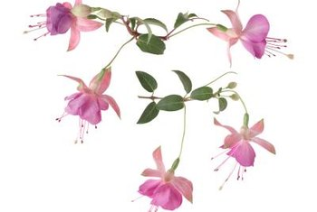 Most fuchsia cultivars are a hybrid of hardy fuchsias or two other species.