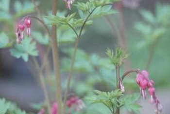 Bleeding hearts feature upside-down purple flowers.