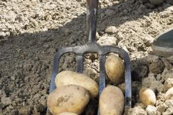 Discontinue watering potato plants two weeks before digging up their tubers.