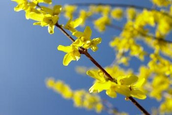 Forsythia flowers are harbingers of spring.