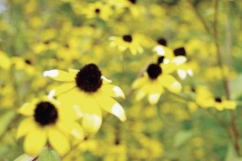 Brown-eyed Susans have slightly shorter petals than other Rudbeckias.