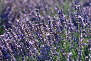 Grow fragrant lavender in your garden, starting the plants from seeds.