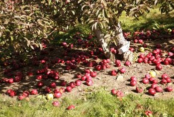 Ownership of a fruit orchard becomes a surprising problem in Sedillo's story.