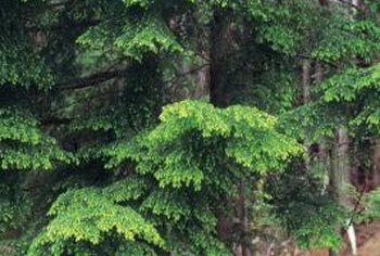 Hemlock trees require acidic soil.