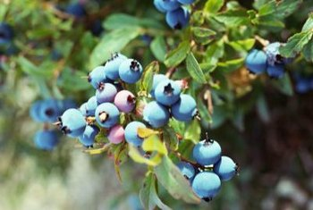 Plant at least two varieties of blueberries to ensure pollination.