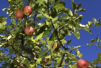 Grafting apple varieties onto rootstocks yields predictable apple types.