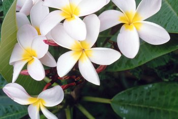 Plumeria is propagated primarily by rooting cuttings.