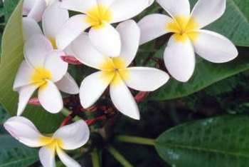 Lovely and fragrant, plumeria flowers arrive in summer.