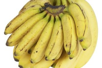 Super Dwarf Cavendish bananas are smaller than commercially grown cultivars.